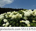 Hydrangea Annabelle White Hydrangea flower and blue sky and white clouds 55113753