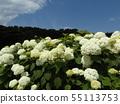 八仙花属Annabelle白色八仙花属花和蓝天和白色云彩 55113753