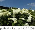 八仙花属Annabelle白色八仙花属花和蓝天和白色云彩 55113754