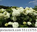 八仙花属Annabelle白色八仙花属花和蓝天和白色云彩 55113755