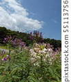Cleome white and purple flowers called drunken flowers 55113756
