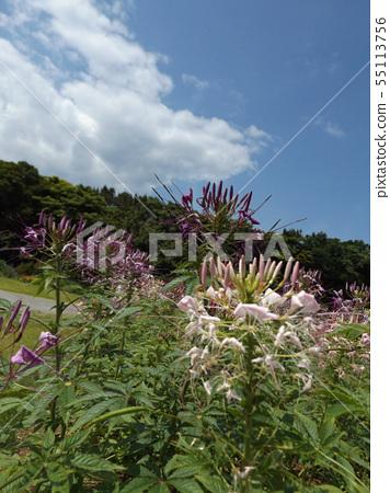 醉蝶花的白色和紫色的花叫醉酒花 55113756