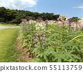 紫色和白色醉蝶花称醉酒花 55113759