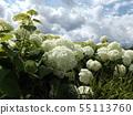 八仙花属Annabelle白色八仙花属花和蓝天和白色云彩 55113760