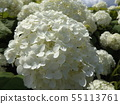 Hydrangea Annabelle White Hydrangea flower and blue sky and white clouds 55113761