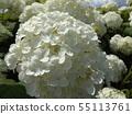 八仙花属Annabelle白色八仙花属花和蓝天和白色云彩 55113761