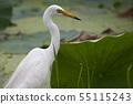 연못에서 먹이를 잡는 중대백로 55115243