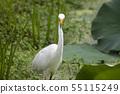 연못에서 먹이를 잡는 중대백로 55115249