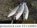 Fresh sea bass caught by angler 55116883