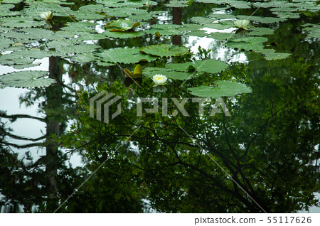 Water lily flowers 55117626
