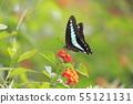 란타나의 꿀을 빨아 청띠 제비 나비 55121131