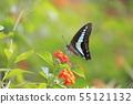 란타나의 꿀을 빨아 청띠 제비 나비 55121132
