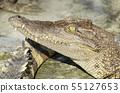 Freshwater crocodile, Siamese crocodile 55127653