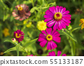 Pink flowers cosmos bloom beautifully in the 55133187