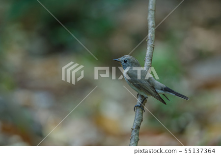 Red-throated Flycatcher (Ficedula albicilla) 55137364