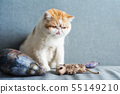 Exotic shorthair cat with animal toys 55149210