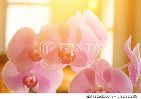 美麗的蘭花,種間的輻照度。 55151589