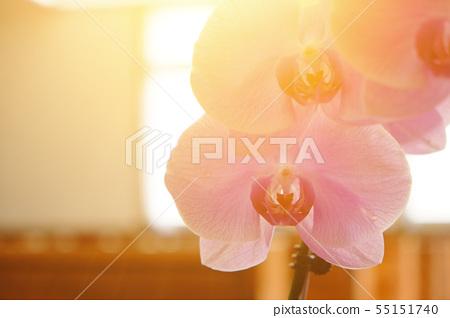 美麗的蘭花,種間的輻照度。 55151740