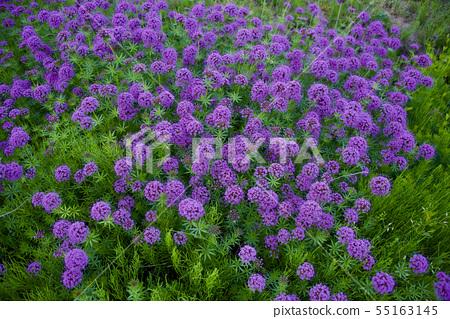 紫色的花5 55163145