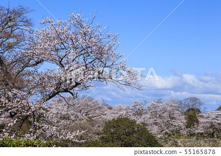 국보 히코와 만개 한 벚꽃 55165878