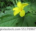 Yellow beautiful flower of bitter gourd to enjoy in hot summer 55170967