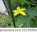 Yellow beautiful flower of bitter gourd to enjoy in hot summer 55170968