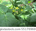 Yellow flowers of cherry tomatoes grown a lot with 50 yen 55170969