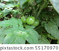 Immature fruit of mini tomato grown a lot with 50 yen type 55170970