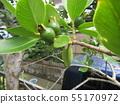 Tropical fruit soon after fruit fruit 55170972