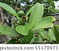 Tropical fruit soon after fruit fruit 55170973