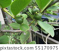 Tropical fruit soon after fruit fruit 55170975