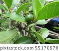 Tropical fruit soon after fruit fruit 55170976