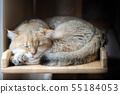 Cute American Short Hair cat sleep on wood 55184053