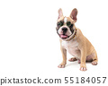 cute french bulldog wear glasses and sitting 55184057