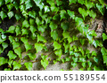Green clambering plant on a grey stone surface. Close-up view. Natural background 55189554
