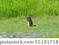 Ground squirrel (Canada) 55191718