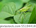 Yabukiri成人臭蟲在一片綠色葉子的 55194418