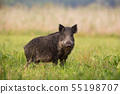 Wild boar standing on the grass in the summer with blurred background. 55198707