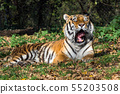 The Siberian tiger,Panthera tigris altaica in the 55203508