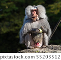 The hamadryas baboon, Papio hamadryas is a species 55203512