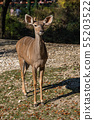 Greater kudu, Tragelaphus strepsiceros is a 55203522