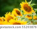 Sunflower field - bright yellow flowers, beautiful 55203876