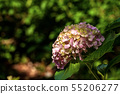Close-up of pink and violet Hydrangea flowers 55206277