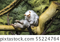 The large image of a small brown monkey), closeup 55224764