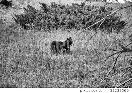 Young black bear cub wandering in Yellowstone 55232560