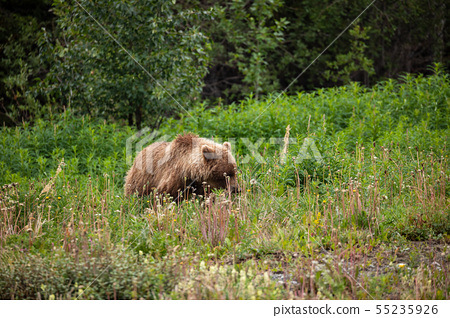 Grizzly Bear on a Meadow 55235926