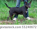 Cute english bull terrier standing with his owner. 55240672