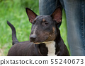 English bull terrier with its owner. Pet animals. 55240673