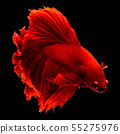 Red fighting fish. 55275976