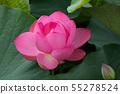 연꽃의 클로즈업 55278524